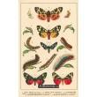 Atlas motýlů 18