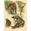 Orangutan, Šimpanz, Gorilla, Gibbon šedý