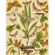 Saturnia, Drepana, Cilix, Harpyia,  Hybocampa… - Atlas motýlů st.Evropy, tab.30