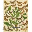 Notodonta, Lophopteryx, Pterostoma, Drynobia... - Atlas motýlů st.Evropy, tab.31