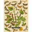 Cnethocampa, Gonophora, Asphalia, Acronycta… - Atlas motýlů st.Evropy, tab.32