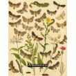 Mamestra, Diathoecia, Episema, Aporophyla… - Atlas motýlů st.Evropy, tab.35