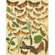 Trachea, Euplexia, Habryntis, Jaspidea, Leucania- Atlas motýlů st.Evropy, tab.37